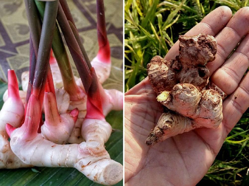 Raiz del jengibre al natural planta beneficios y propiedades