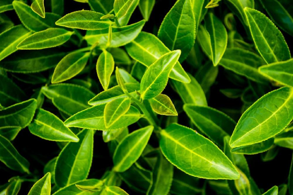 para que es bueno el te verde